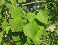 Осина Populus tremula  обхват ствола   25-30