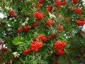 Рябина Sorbus auc. Fastigiata  обхват ствола   14-16