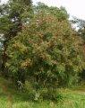 Рябина Sorbus aucuparia  обхват ствола   12-14