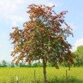Рябина Sorbus aucuparia  обхват ствола   14-16