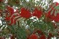 Рябина Sorbus aucuparia Edulis  обхват ствола   14-16