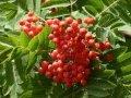 Рябина Sorbus intermedia  обхват ствола   10-12