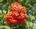 Рябина Sorbus intermedia  обхват ствола   12-14