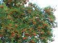 Рябина Sorbus Joseph Rock  обхват ствола   10-12