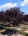 Сакура Prunus serr. Royal Burgundy  обхват ствола   180KM
