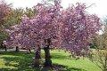 Сакура Prunus serr. Kanzan  обхват ствола   12-14
