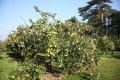 Цидония Cydonia oblonga Vranja  обхват ствола   12-14