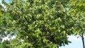 Цидония Cydonia oblonga Vranja  обхват ствола   14-16
