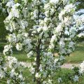 Яблоня Malus Adirondack  обхват ствола   18-20