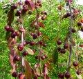 Яблоня Malus Royal Beauty  обхват ствола   20-25