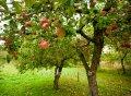Яблоня Malus Van Eseltine  обхват ствола   10-12