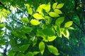Ясень Fraxinus excelsior Globosum  обхват ствола   25-30