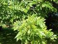Ясень Fraxinus excelsior Obříství  обхват ствола   12-14