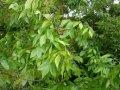 Ясень Fraxinus excelsior Obříství  обхват ствола   14-16