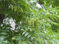 Ясень Fraxinus excelsior Obříství  обхват ствола   16-18