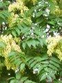Ясень Fraxinus excelsior Obříství  обхват ствола   18-20