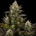 Seeds the autoblossoming Auto Wembley of TGC of 19%, art.200