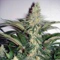Семена феминизированные автоцветущие сорта Auto White Widow fem Вайт Видоу, Белая Вдова ТГК 19%, арт. 230