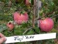 Саженцы плодовых деревьев Фуджи Кику, Артикул УТ000004053