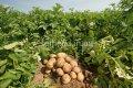 Семена картошки Романо, Артикул товара УТ000003842