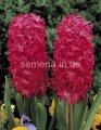 Семена цветов Гиацинт Jan Bos, Артикул УТ000001311