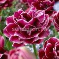 Семена цветов Тюльпан Dream Touch, Артикул УТ000001306