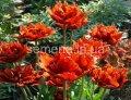 Семена цветов Тюльпан Maroon, Артикул УТ000001283