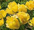 Семена цветов Тюльпан Akebono, Артикул УТ000001296