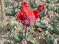 Семена цветов Тюльпан Rococo, Артикул УТ000001314