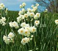 Семена цветов Нарцисс Sir Winston Churchill, Артикул УТ000002329