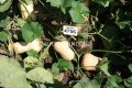 Семена тыквы UG 205 F1, Артикул 4738