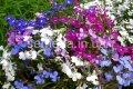 Семена цветов, Однолетник Лобелия ампельная Каскад, Артикул 990