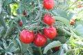 Семена томатов Стромболино F1, Артикул УТ000001792