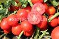 Семена томатов Уно Россо F1, Артикул 6432