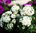 Семена цветов, Однолетник Агератум Алоха F1, Артикул 6071