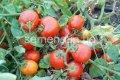 Семена томатов UG B169 F1, Артикул 1317