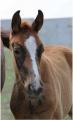 Лошади для конкура Укриана, Молодые лошади,купить Жеребец Украина, купить, цена, фото.