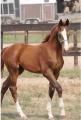 Молодые лошади от 1 года, Кобыла молодая купить Украина Киев, купить, цена, фото.