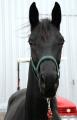 Лошади скаковые Украина купить экспорт, Лошади для выездки трехлетки, купить, цена, фото.