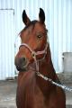 Лошади племенные Украина Киев, Кобылы племенные, Кобылы-матки, лошади купить экспорт Украина,купить, цена, фото.