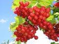 Калина обыкновенная (плоды) 50г