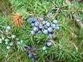Можжевельник обыкновенный (плоды) 50г