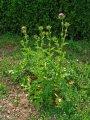 Расторопша пятнистая (плоды) 50г