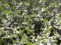 Терн колючий (цвет) 30г