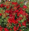 Роза почвопокровная Руж Баден-Баден