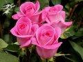 Роза чайно-гибридная Attache