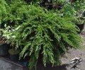 Можжевельник козацкий Tamariscifolia