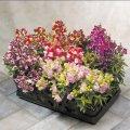 Антирринум (львиный зев) floral showers bicolour mix f1, sakata 1 000 семян
