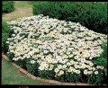 Ромашка садовая snow lady f1, sakata 1 000 семян