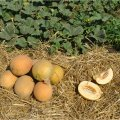 Гурмет f1 / gourmet f1 - дыня, hollar seeds 1000 семян